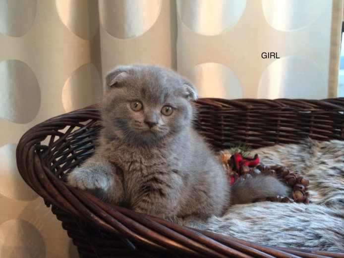 British Shorthair Kittens.