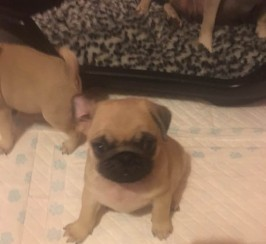 Beautiful pug puppies for sale