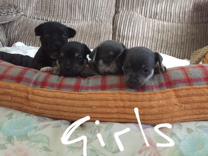 For Sale Chihuahua x Jack Russell Puppies