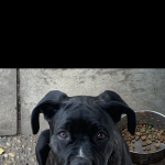 Beautiful 4 month old Neapolitan Mastiff Bull Boxer  girl pup