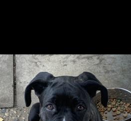 Pets  - Beautiful 4 month old Neapolitan Mastiff Bull Boxer  girl pup