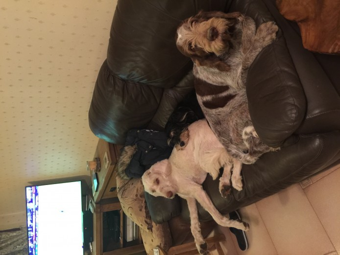 Italian Spinone Puppies For Sale