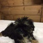 Beautiful litter of Lhasa apso puppies