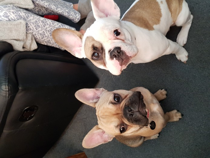 Two Beautiful Frenchies need