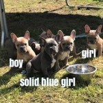 stunning kc french bulldog puppies