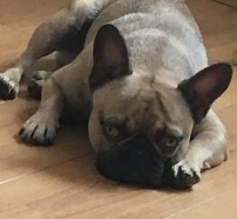 Pets  - Chocolate sable french bulldog for stud