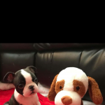 Boston Terrier Puppy's