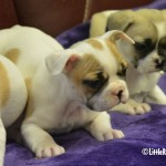 Frengle puppies for sale