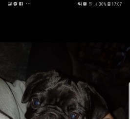 6 month old black pug Ralph