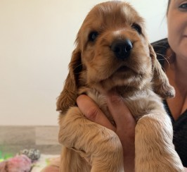 Beautiful show type cocker spaniel puppies
