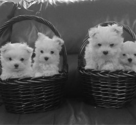 Stunning Snow White Maltese Puppies.