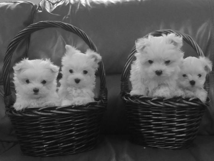 Stunning Snow White Maltese Puppies.