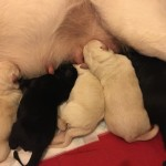 Gorgeous German Shepherd x Labrador puppies for sale