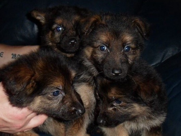 Stunning German Shepherd Puppies