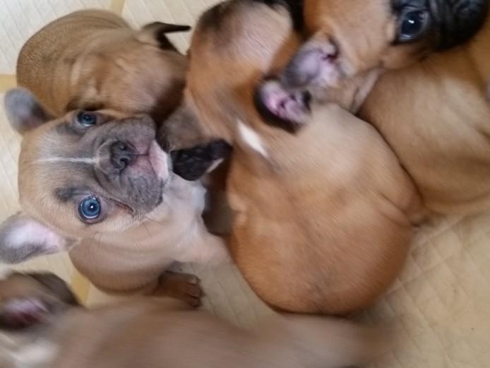 Stunning French Bulldog Babies Kc Reg True to Type