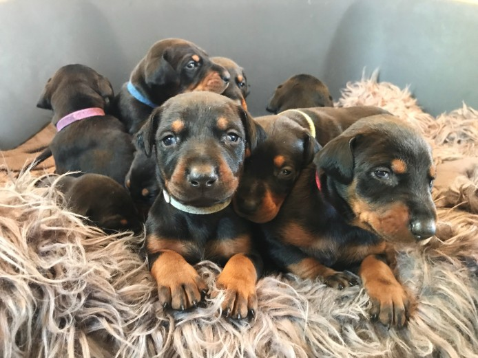 Beautiful Doberman Puppies For Sale