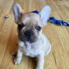 Pets for Sale - French Bulldog pups, chunky and true to breed