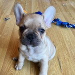 French Bulldog pups, chunky and true to breed