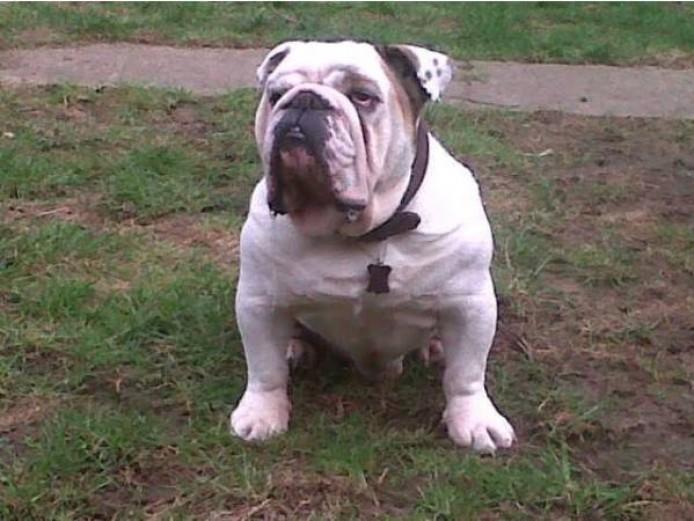 Stunning Victorian Bulldog Puppy Black and White Boy