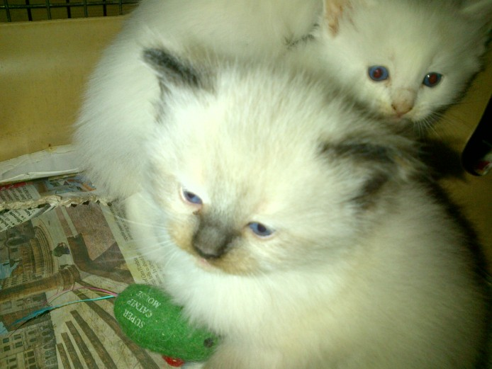 Purebred Ragdoll Kittens for Sale In Somerset