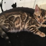 Stunning Bengal Boy Available