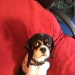 Cavalier king Charles spaniel, goes by the name Charlie, £450, COLLECTION ONLY, Stunning little boun…