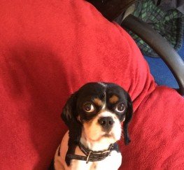 Pets  - Cavalier king Charles spaniel, goes by the name Charlie, £450, COLLECTION ONLY, Stunning little bouncy boy, great with children, just lovable, doting an caring, unfortunately for me I am disabled an can no longer have him, any person is welcome to come se