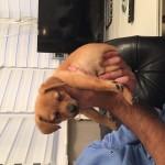 Pomeranian x Jack Russell puppy