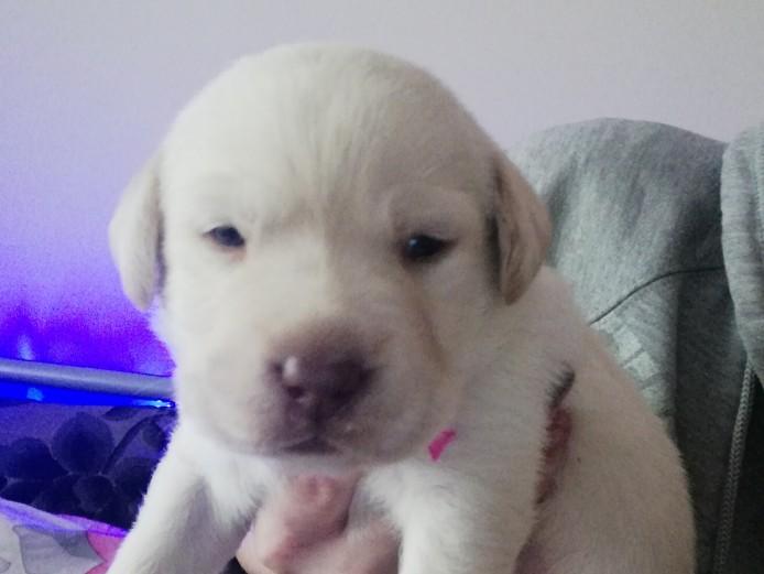 Beautiful Pedigree labradors puppies