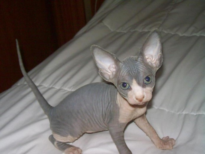 6 Beautiful Sphynx Kittens