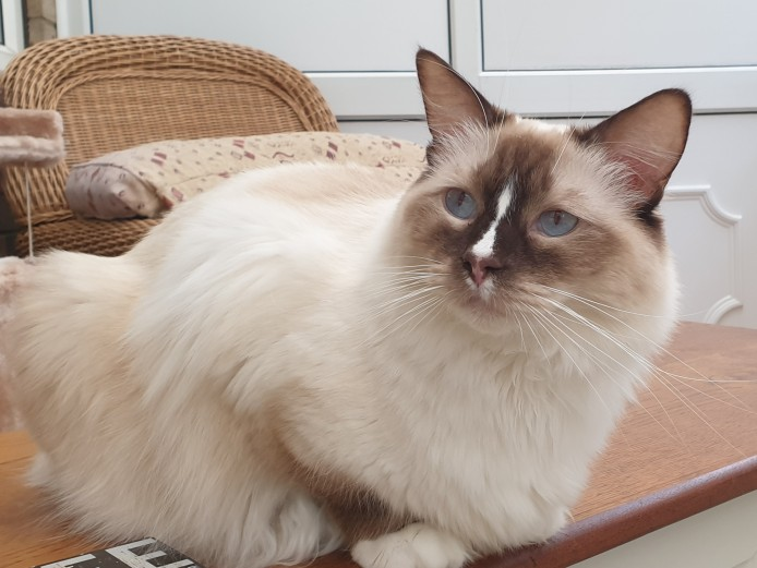 Young TICA Registered Adult Ragdolls