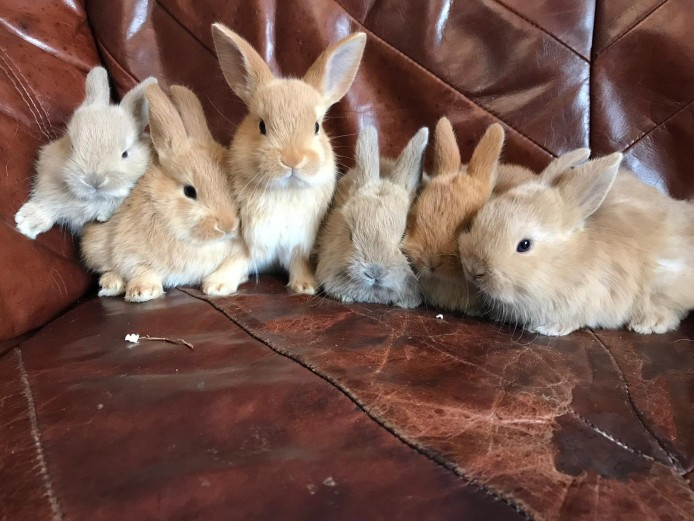 Min lop x netherland dwarf rabbits, ready 13th july