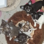 Kc reg chihuahua puppies available end of July. Fully vaccinated, chipped. Confident, playful little…