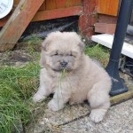 Amazing pedigree Chow Chow puppies