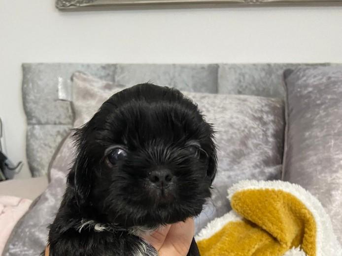 Half imperial shihtzu puppies