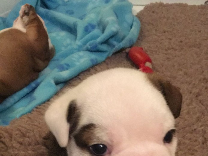 Top quality KC English Bulldog puppies