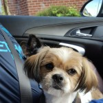 Male shi-chi for sale