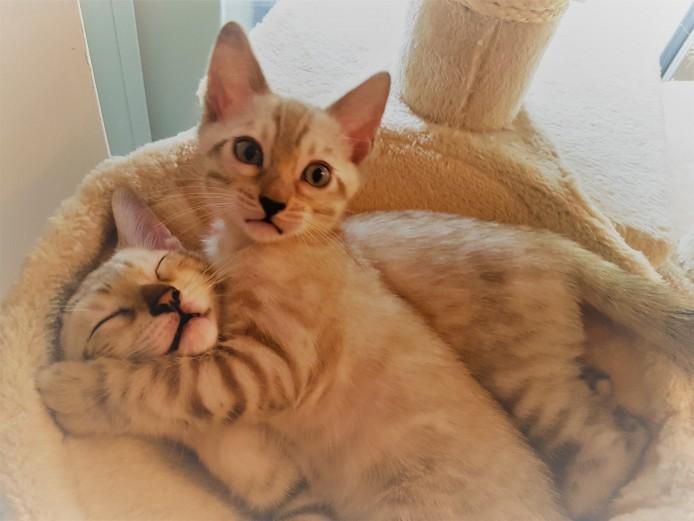 Beautiful TICA registered snow lynx Bengal kittens