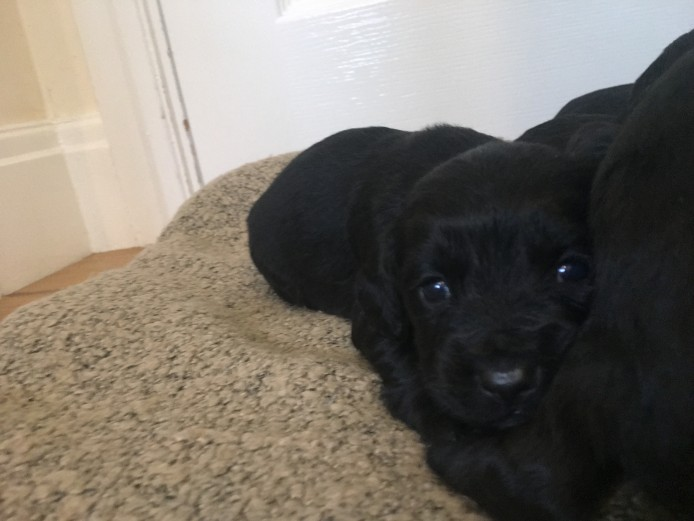 COCKER SPANIEL PUPPIES KC REGISTERED