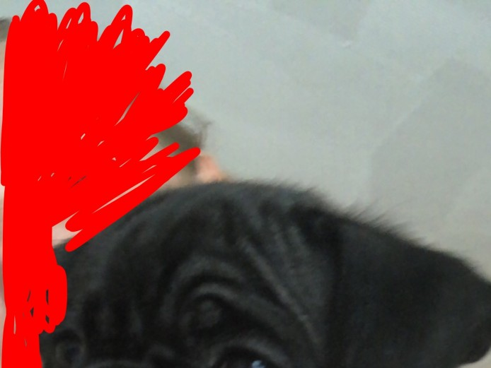 Beautiful healthy female pug puppy for sale