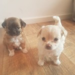 Pedigree Chihauhau puppies for sale