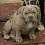 4 OLDE TYME BULL DOG PUPPIES