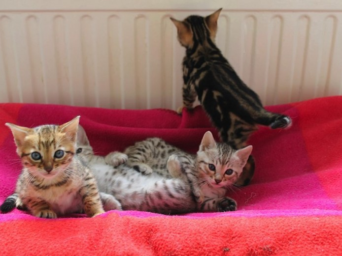 Stunning Tica Bengal Kittens - Spotted & Marbled for Sale