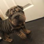 Bullpei puppies for sale