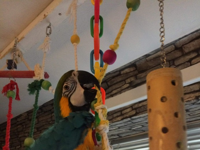 Blue and gold macaw 4 years old