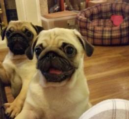 Pets  - Pug Puppies