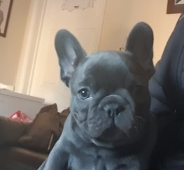 Pets for Sale - Blue French Bulldog Dog Puppy