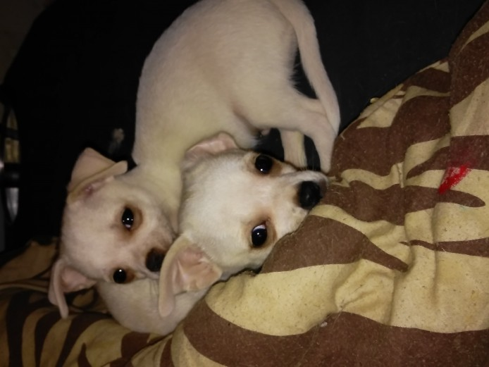 Chihuahua boys for sale