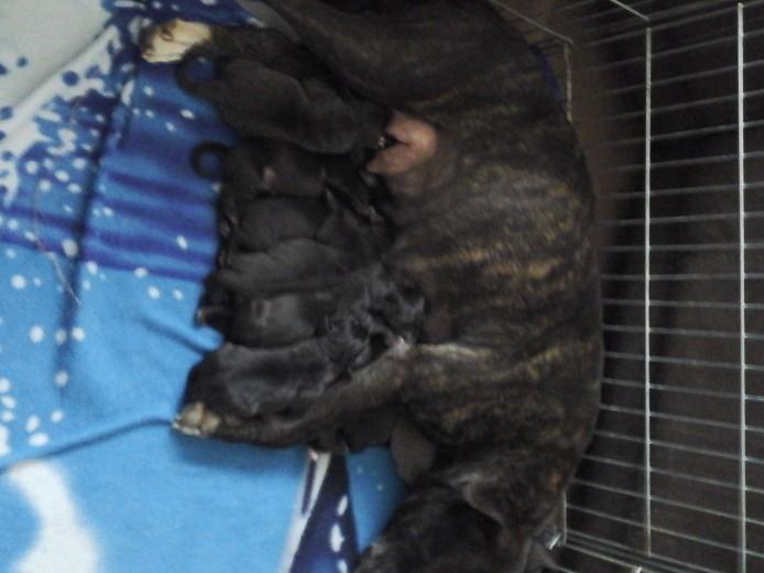 Wymerarma cross staffy puppies for sale.