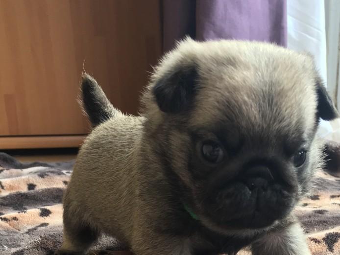 KC Pug pups